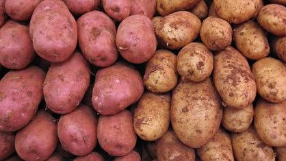 Potatoes Survival Garden