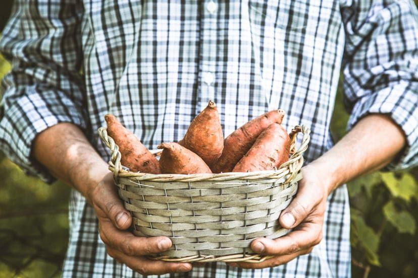 Genius Ways Of Growing Sweet Potatoes Indoors – The Ultimate Guide