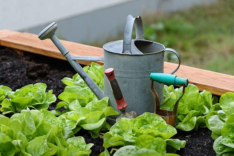 Home Gardening Lettuce