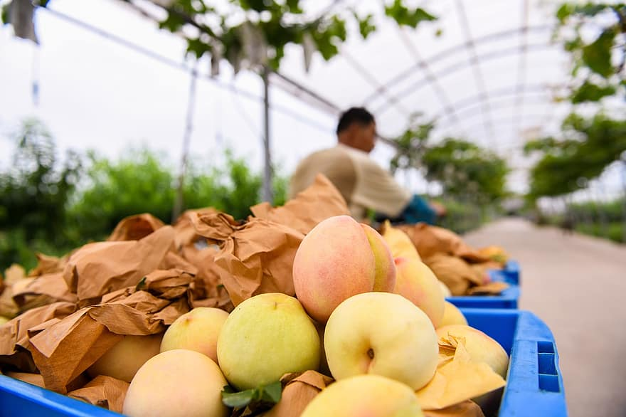 harvest peaches growers