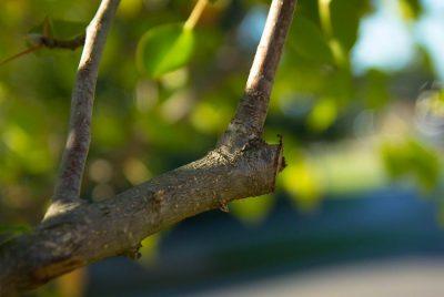 Pruning A Branch