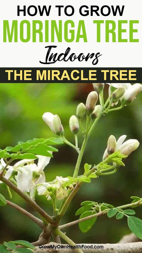 How to Grow Moringa Tree Indoors - The Miracle Tree