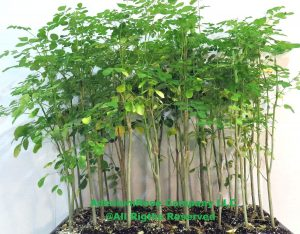 Moringa tree starter kit