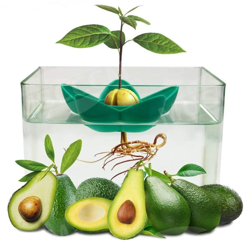 growing avocado from seed