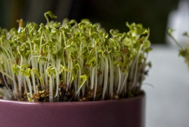 Seedling Sprouts