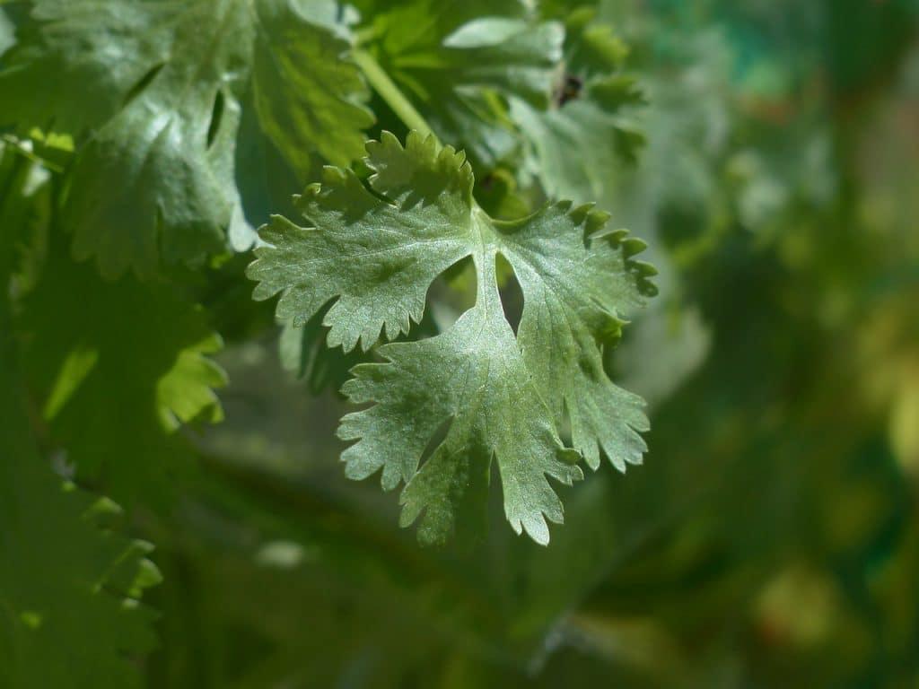 real coriander cilantro