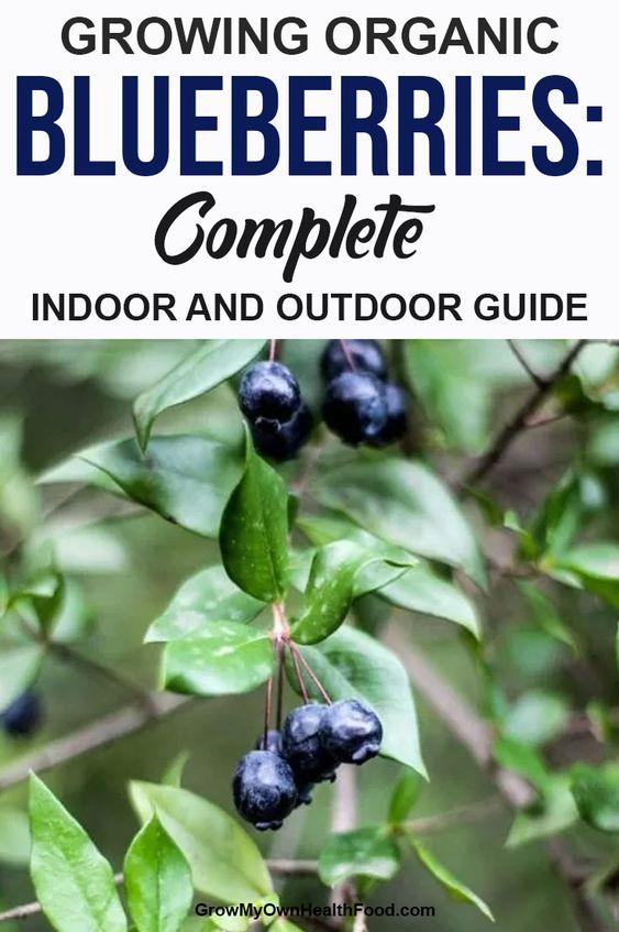 Growing Organic Blueberries: Complete Indoor and Outdoor Guide