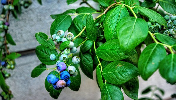 blueberry planting