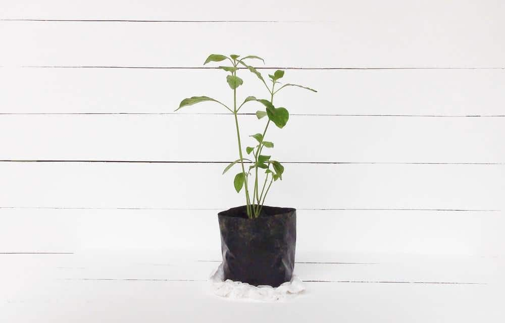 lemon seedling