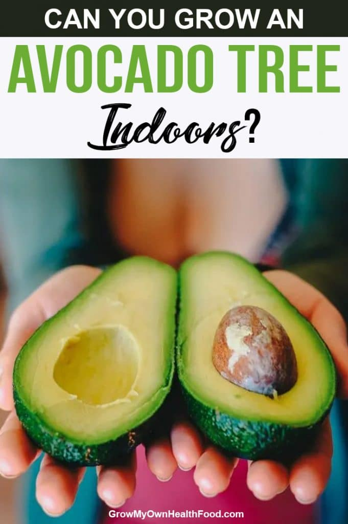 Grow an Avocado Tree Indoors