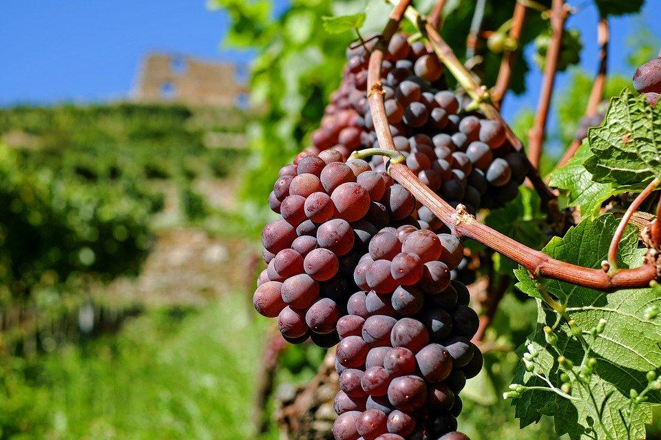 bountiful grapes