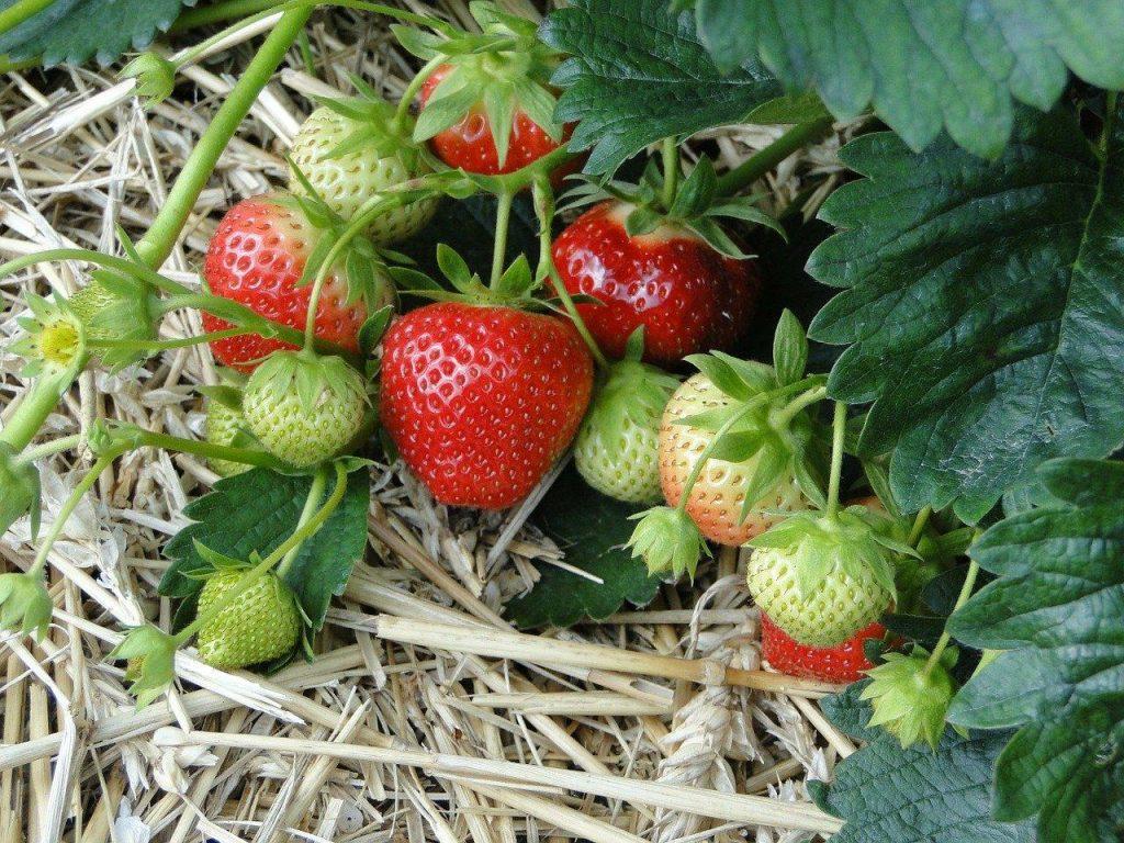 strawberries from straw bale gardening
