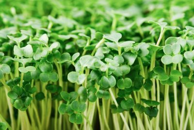 Broccoli Microgreens FI