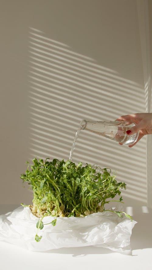 Watering Microgreens