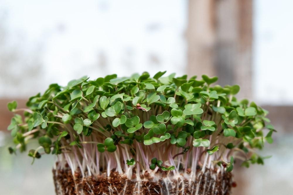 baby microgreens