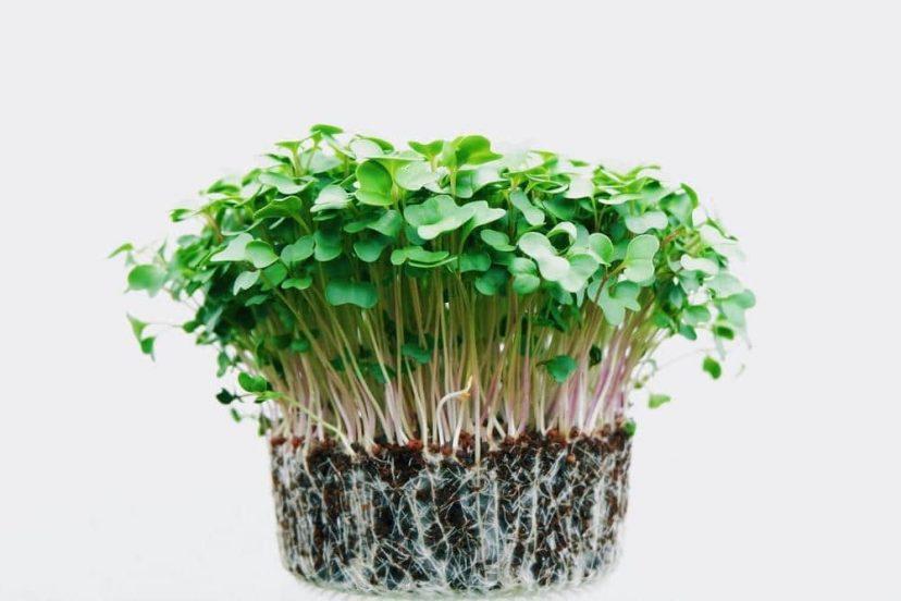 Microgreen Baby Leaves