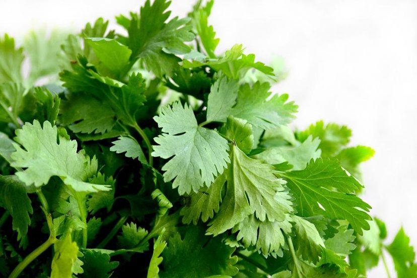 Grow Cilantro Microgreens
