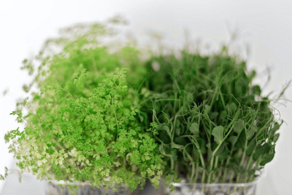 Germination of Microgreens