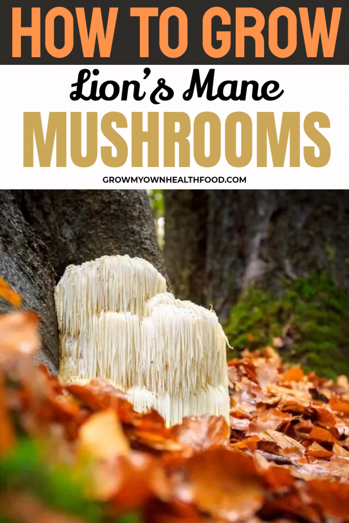 How To Grow Lions Mane Mushrooms
