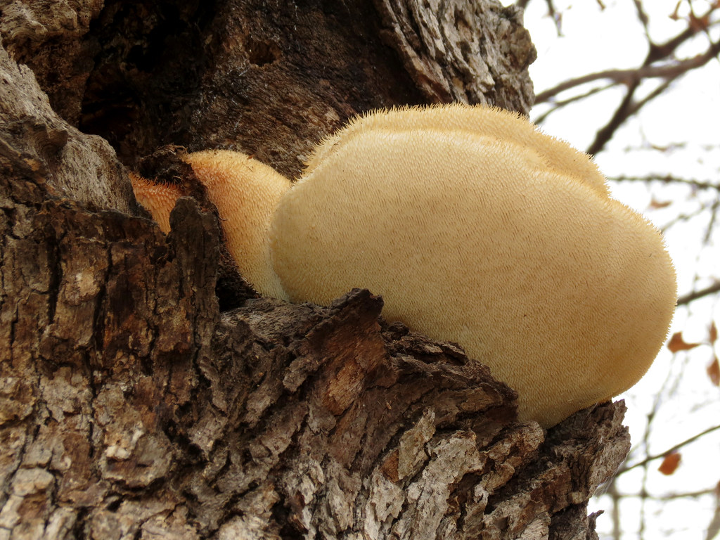 Lions Mane Mushroom spawn