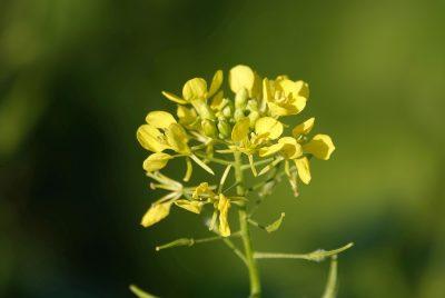 Mustard Microgreen Growing