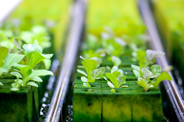 Growing Microgreens without Soil