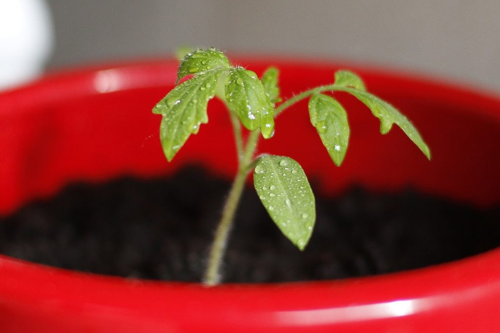 plant bonsai tree seed