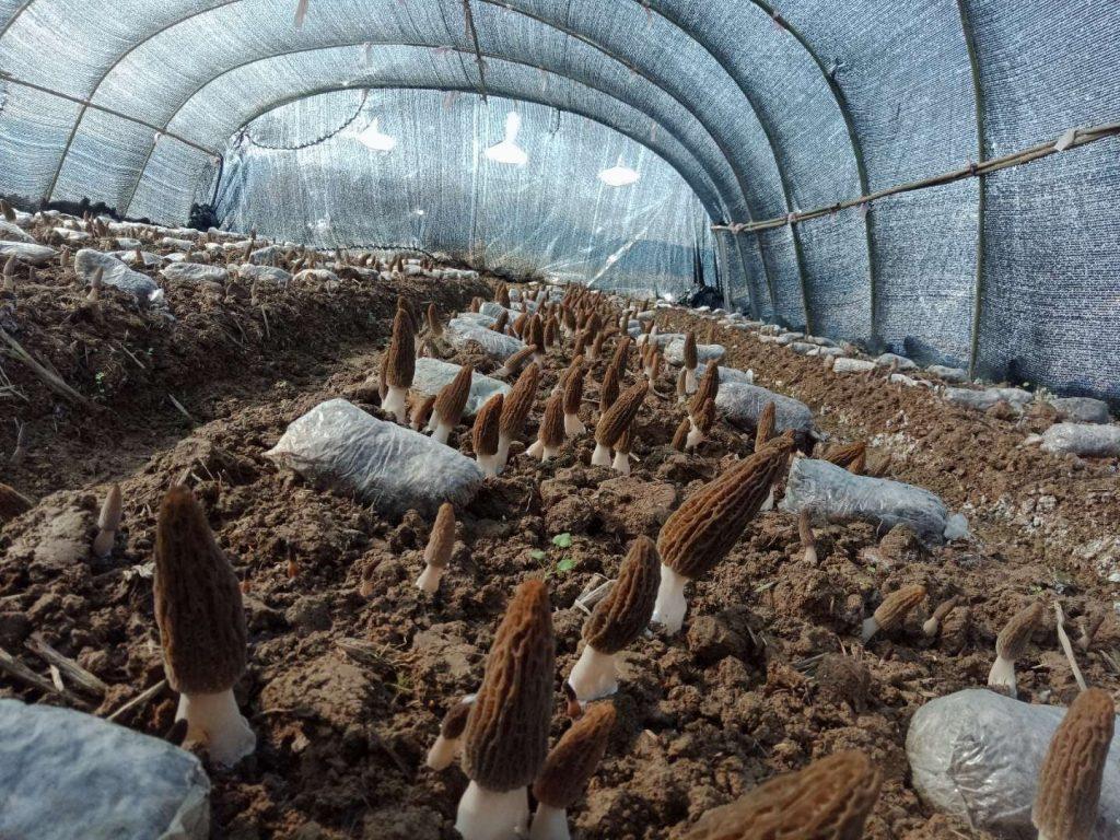 planting morel mushroom