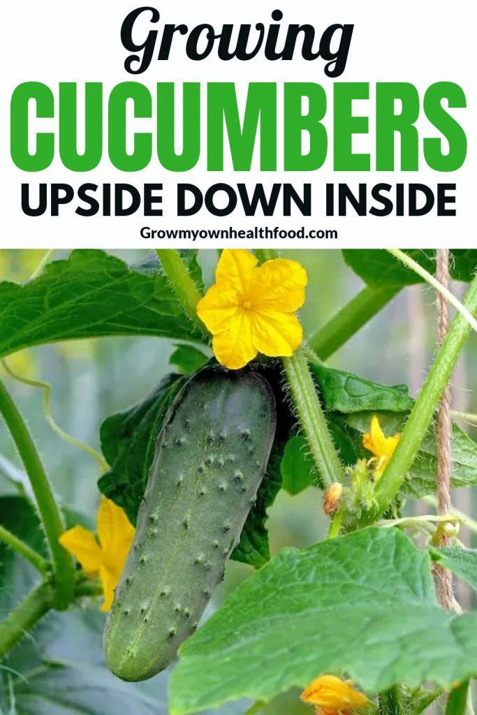 Growing Cucumbers Upside Down Inside