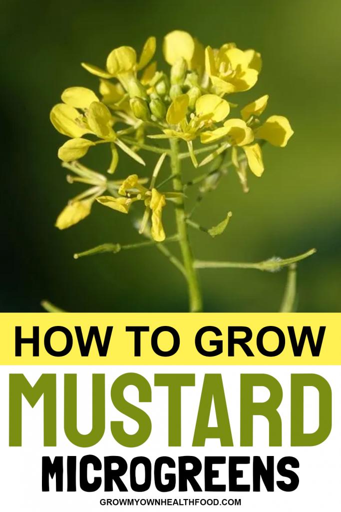 How to Grow Mustard Microgreens