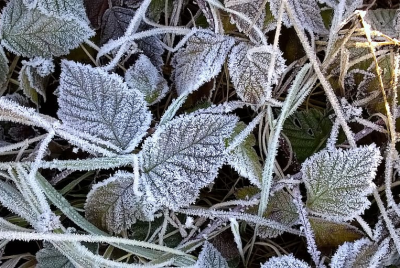 Frosted Plants